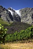 Vineyard von Boekenhoutskloof, Franschhoek, Western Cape, SA