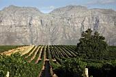Kleine Zalze Vineyard, Stellenbosch, Western Cape, SA