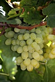 Vine with Sultana grapes (Swartland, Western Cape, SA)