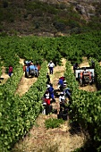 Grape harvest of Chenin Blanc grapes (Vondeling, Paarl, Western Cape, SA)