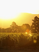 Sunset in the vineyard, Warwick Estate, Stellenbosch, SA
