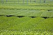 A tea plantation (Shizuoka, Japan)