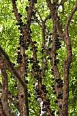 Jabuticaba (tree trunk cherries, Brazil)