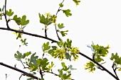 Wild blackcurrants
