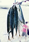 Fresh mackerels hung up