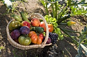 A basket of fresh fruit and vegetables from the garden