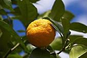 Mandarins on a tree (close-up)