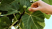 Hand picking a fig from the tree