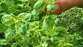 Picking herbs