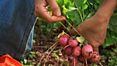 Tying freshly picked radishes into a bunch