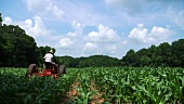 Famer driving a tractor in a field of maize