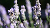Flowering lavender and a bee