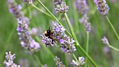 A bumble-bee on a lavender flower