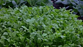 A bed of rocket