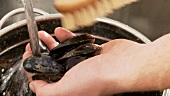 Mussels being cleaned with a kitchen brush