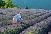 Young woman in blooming lavender field, Provence, France