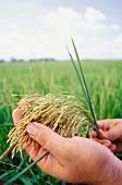 Hand holding rice plant, Venezuela