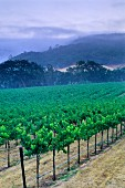Vineyard in Alexander Valley, Asti, Sonoma County, California, USA