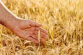 Hand in wheat, Lleida, Catalonia, Spain