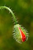 Poppy bud, Pyrénées-Orientales, Languedoc-Roussillon, France