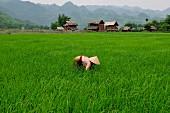 Woman in paddy field, Mai Chau, Hoa Binh province, Vietnam