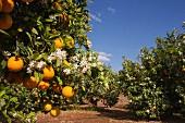 Orange plantation, Alzira, Ribera, Valencia, Spain