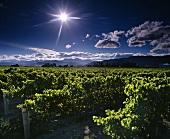 Riesling vines in Stoneleigh Vineyard in the Wairau Valley at Blenheim; New Zealand
