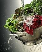 Gemischte Salatsorten werden gewaschen