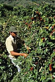 Worker picking Coffee Beans