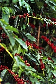 Coffee Berries at the Branch