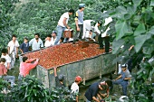 Loading harvested coffee beans  into a trailer; Costa Rica