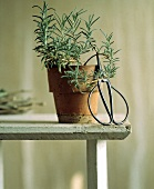 Rosemary Plant in a Clay Pot; Scissors