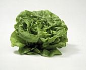 A Head of Boston Lettuce