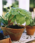 Basil Growing in a Clay Pot