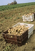 Harvested Potatoes in Crates in a Potato Field