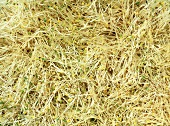 Alfalfa Sprouts; Close Up