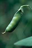 A Pea Pod Growing on the Vine