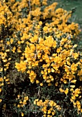 A Gorse Bush (Used for Wine Making)