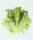 A Leaf of Green Leaf Lettuce