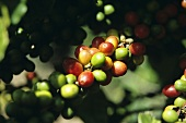 Coffee Plant with Red and Green Berries