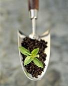 Basilikumpflanze mit Erde auf kleiner Schaufel