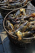 Two Bakets Filled with Live Lobsters