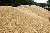 Mounds of Wheat in Truck