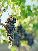 Red wine grapes in sunlight