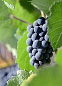 A Large Bunch of Grapes Hanging on the Vine