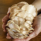 Hands Holding Pink Oyster Mushrooms