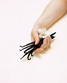 Hand holding vanilla pods and white orchid