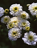 Flowering feverfew (Chrysanthemum parthenium)