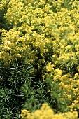 Flowering Dyer's woodruff (Asperula tinctoria)