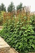 Pole beans in the garden